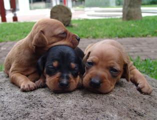three mini pinschers