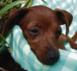 miniature pinscher puppy closeup