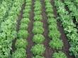 rangs de salades