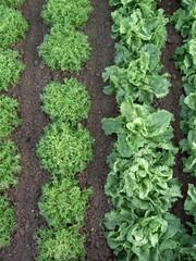 rangs de salade