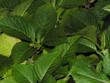 0571-feuilles de dahlia