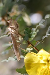 giant african mantis 2