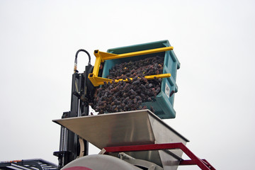 grapes dumped into hopper