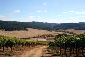 autumn colors in vineyard