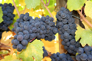 ripe wine grapes in autumn
