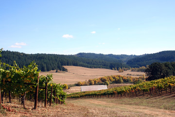 landscape of autumn vineyard