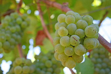 small cluster of wine grapes