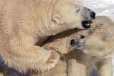bear hug 6 poster