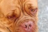 dogue bordeaux, bordeaux dog poster