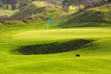 cat on golf course
