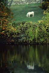 white horse in autumn meadow, reflected