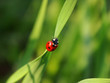 roleta: ladybird on a blade