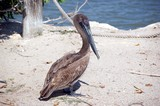 pelican rescue center resident poster