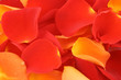 red and orange rose petals