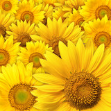 sunflower-