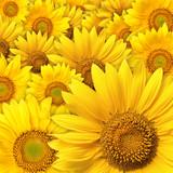 Fototapeta uroda - pszczoły - Kwiat