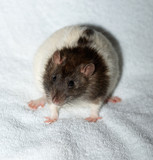 piebald  decorative rat poster