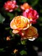 orange roses1