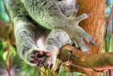 koala claws poster