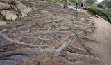exposed roots of a giant stone pine with two hikers as benchmark poster