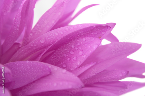 violet flower with waterdrops