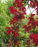 red autumn creeper foliage poster