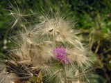 thistle semens with fluffty blow-balls poster