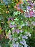 multicolor foliage of creeper poster
