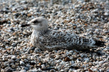 france, normandie: seagull on pebbles poster
