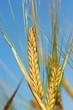 corn - cereal - grain
