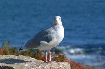 seagull on pink granite
