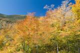 birch trees during peak fall foliage poster