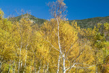 birch trees in peak fall foliage color poster