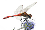 Fototapeta red dragonfly