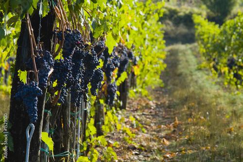 Leinwanddruck Bild lush ripe wine grapes on the vipe