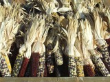 dried indian corn poster