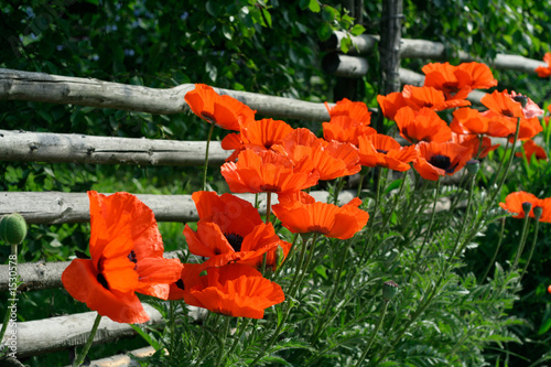 rail fence and poppies
