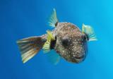 tropical fish (hawaii) poster