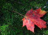 maple leaf contrast poster
