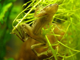 little chinese frog underwater
