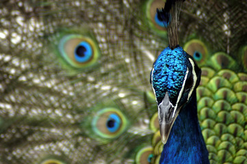 animal - indian blue peafowl (pavo cristatus)