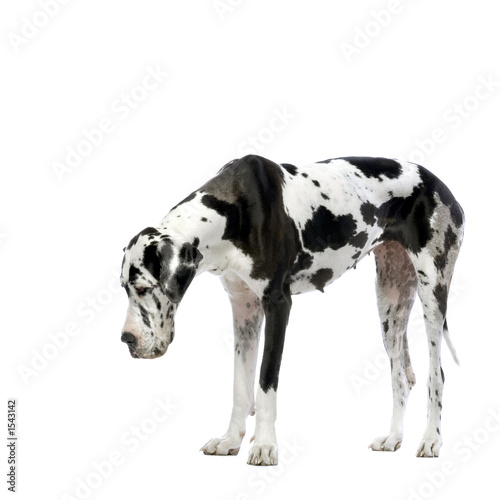 Leinwandbild Motiv great dane