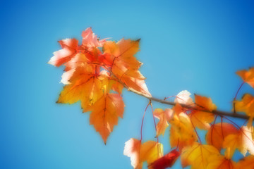 orange maple leaves against blue sky