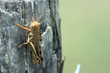 grasshopper on a cedar post poster