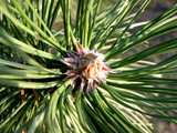 pine needles 1 poster