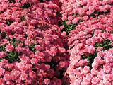 pink autumn mums poster