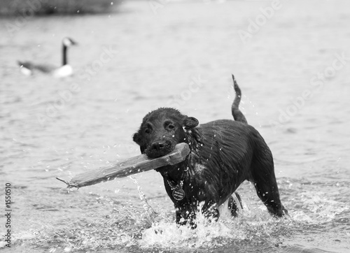 retriever puppy  in water