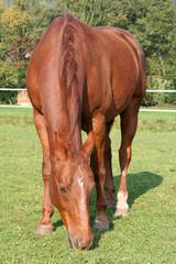 braun-rote pferd in der vorderansicht.
