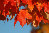 fall leaves with clear skies poster