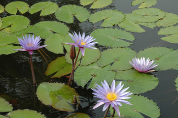 water lilies on a pond